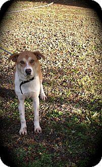 Labrador Retriever Mix Dog for adoption in Castle Rock, Washington - Will