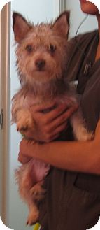 Terrier (Unknown Type, Small) Mix Dog for adoption in Westminster, California - Zira