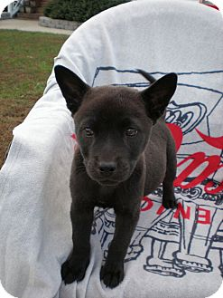 American Staffordshire Terrier/Husky Mix Puppy for adoption in Smithfield, North Carolina - Lilly