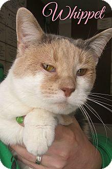 Domestic Shorthair Cat for adoption in Menomonie, Wisconsin - Whippet