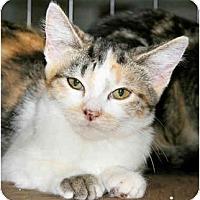 Adopt A Pet :: Calico/iTabby mix - Cincinnati, OH