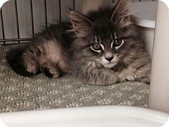 Maine Coon Kitten for adoption in Marietta, Georgia - McKenzie