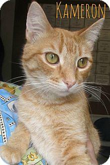 Domestic Shorthair Cat for adoption in Menomonie, Wisconsin - Kameron