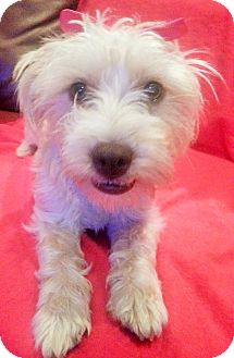 Maltese/Terrier (Unknown Type, Small) Mix Puppy for adoption in Irvine, California - CLEO