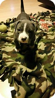 Pit Bull Terrier Mix Puppy for adoption in Rancho Cucamonga, California - Buttercup