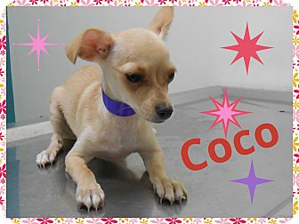 Chihuahua/Dachshund Mix Puppy for adoption in Brownsville, Texas - Coco