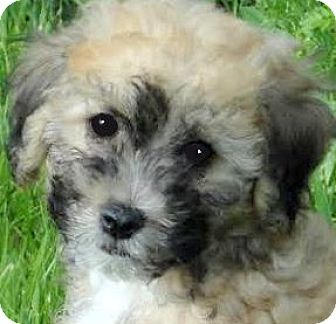 Goldendoodle Puppy for adoption in Wakefield, Rhode Island - BJ(ADORABLE GOLDENDOODLE PUPPY