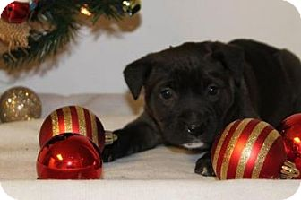Boxer/Labrador Retriever Mix Dog for adoption in Northville, Michigan - C14 Angel