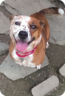 Cattle Dog Mix Dog for adoption in Springfield, Vermont - Hannah
