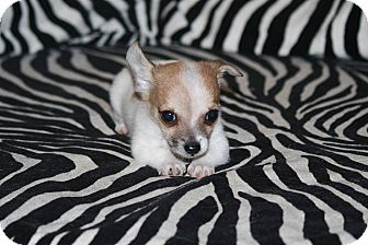Jack Russell Terrier/Chihuahua Mix Puppy for adoption in Rancho Cucamonga, California - Jack