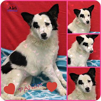 Collie Mix Dog for adoption in Pittsburgh, Pennsylvania - Panda