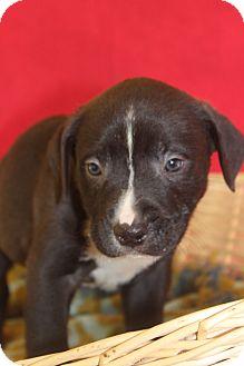 Labrador Retriever/Retriever (Unknown Type) Mix Puppy for adoption in Waldorf, Maryland - Cindy