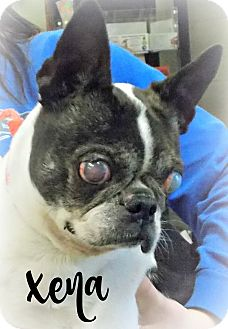 Boston Terrier Dog for adoption in Defiance, Ohio - Xena