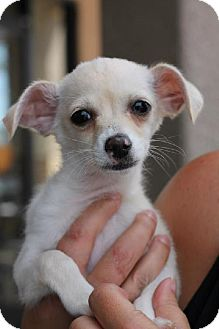 Chihuahua Mix Puppy for adoption in Phoenix, Arizona - Dozer