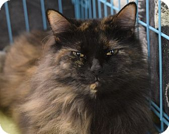 Domestic Longhair Cat for adoption in Wilmington, North Carolina - Anna