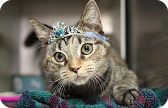 Domestic Shorthair Kitten for adoption in Voorhees, New Jersey - Lila