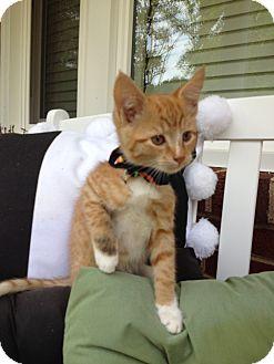 Domestic Shorthair Kitten for adoption in Statesville, North Carolina - Cal