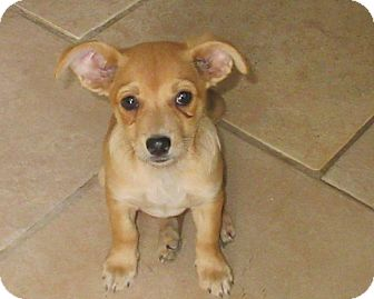 Terrier (Unknown Type, Small) Mix Puppy for adoption in Palm Springs, California - Emma