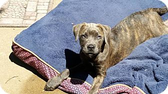 Mastiff/Great Dane Mix Dog for adoption in Fairview Heights, Illinois - Bella