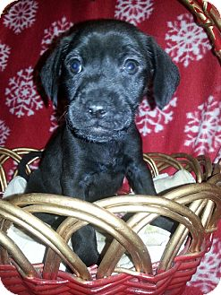 Labrador Retriever Mix Puppy for adoption in Pompton Lakes, New Jersey - claus
