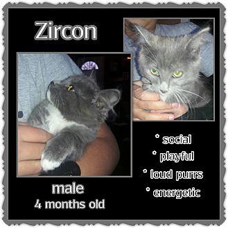 Russian Blue Kitten for adoption in Richmond, California - Zircon