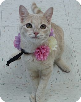Domestic Shorthair Cat for adoption in Chambersburg, Pennsylvania - Tracey