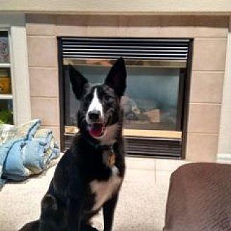 Border Collie Mix Dog for adoption in Colorado Springs, Colorado - Pogo