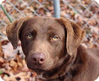 Labrador Retriever Mix Dog for adoption in Harrisonburg, Virginia - Opie
