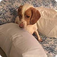 Adopt A Pet :: Bessie - Alexandria, VA
