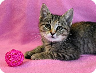 Manx Kitten for adoption in Greensboro, North Carolina - Bobbi