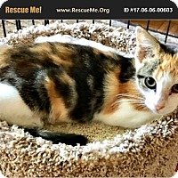 American Shorthair Kitten for adoption in Horseshoe Bay, Texas - Lizzy