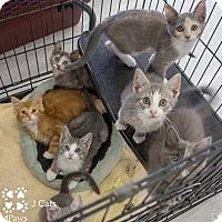 Calico Kitten for adoption in Merrifield, Virginia - Josie