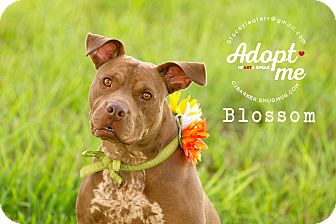 Pit Bull Terrier/Pointer Mix Dog for adoption in Friendswood, Texas - Blossom