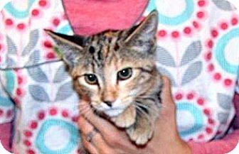 Domestic Shorthair Kitten for adoption in Wildomar, California - Tangerine