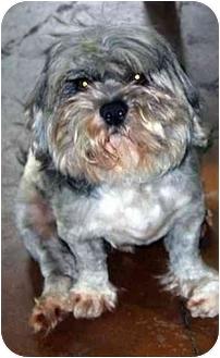 Lhasa Apso Dog for adoption in Portland, Oregon - Rusty