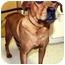 Photo 2 - Hound (Unknown Type)/Labrador Retriever Mix Dog for adoption in Mt. Prospect, Illinois - Holly