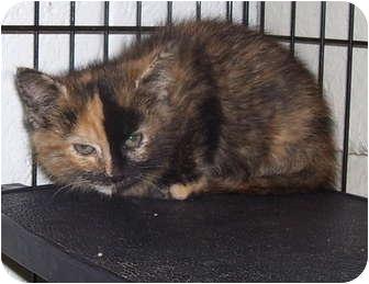 Domestic Mediumhair Kitten for adoption in Somerset, Pennsylvania - Stacey