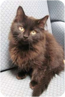 Domestic Longhair Kitten for adoption in Jackson, Michigan - Charm