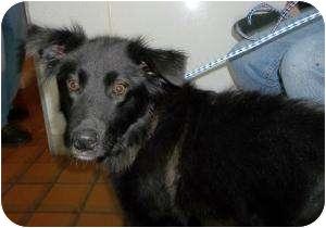 Border Collie Mix Dog for adoption in Kansas City, Missouri - June