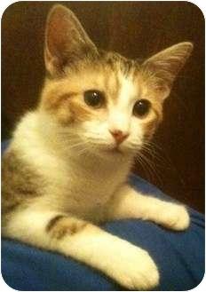 Calico Kitten for adoption in Newburgh, Indiana - Lyndon