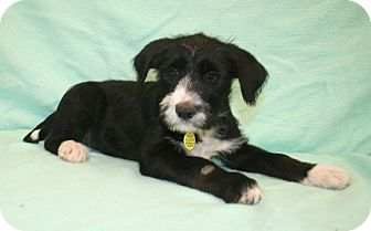 Airedale Terrier/Labrador Retriever Mix Puppy for adoption in Westminster, Colorado - Skye