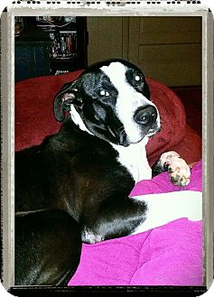 Great Dane Mix Dog for adoption in Roaring Spring, Pennsylvania - Mr.Mets