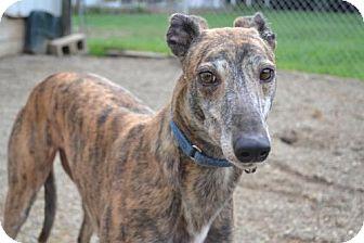 Greyhound Dog for adoption in Chagrin Falls, Ohio - Rankin (Flying Rankin)