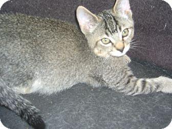 Domestic Shorthair Kitten for adoption in Kelseyville, California - Silver