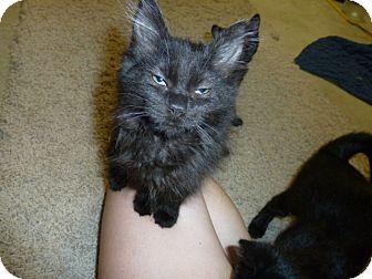 Domestic Mediumhair Kitten for adoption in Fairborn, Ohio - Silkie-Springfield Litter