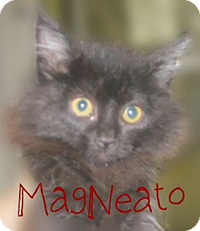 Domestic Longhair Kitten for adoption in Beaumont, Texas - Mag-Neato