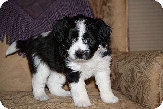 Terrier (Unknown Type, Small) Mix Puppy for adoption in West Milford, New Jersey - BRUTUS