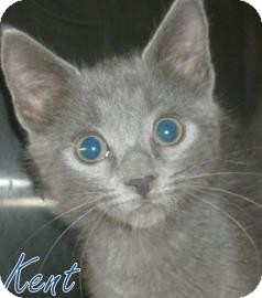 Domestic Shorthair Kitten for adoption in Georgetown, South Carolina - Kent