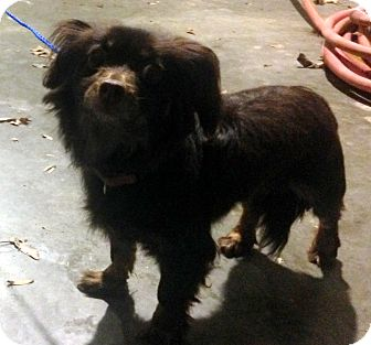 Spaniel (Unknown Type)/Chihuahua Mix Dog for adoption in Bloomfield, Connecticut - Pirate Fairy