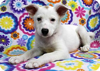 Shepherd (Unknown Type) Mix Puppy for adoption in Westminster, Colorado - Pipsquek